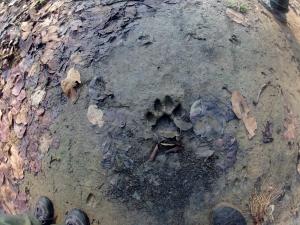 urma de tigru